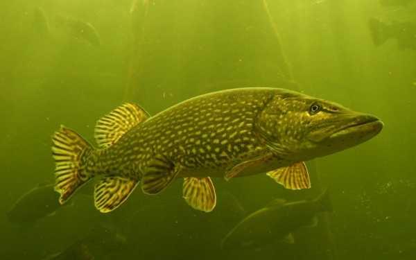 Рыбалка на щуку: способы, снасти, приманки