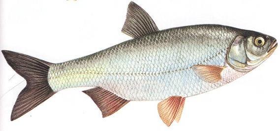 Рыба язь. Описание вида и способов ловли