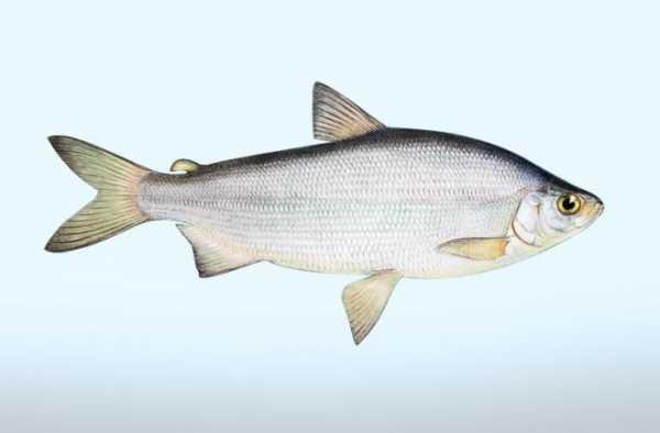 Рыба пелядь где водится в России?