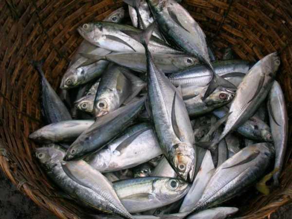Макрель - рыба семейства Скумбриевые