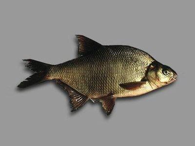 Рыбалка: лещ на поплавочную удочку