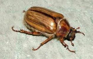 На что ловить голавля в мае? Голавль на майского жука. Рыбалка