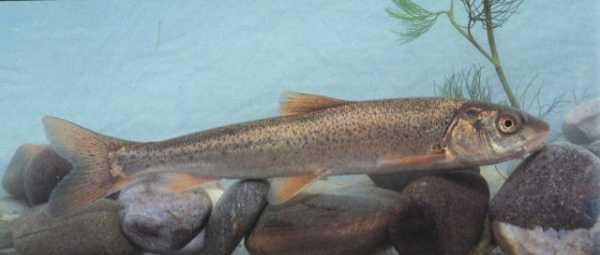 Осман (рыба): где водится, как и на что ловить